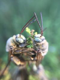 male longhorn bees-native bees photo credit Jennifer Baumbach